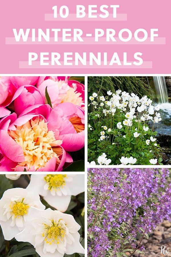 The 10 Best Winter Proof Perennials Winter Flowers Garden Winter Flowers Perennials