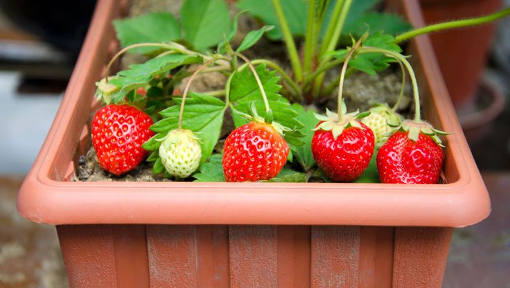3 Fruits To Grow In Pots: No Yard Required -  These plants thrive in containers. | Rodales Organic Life