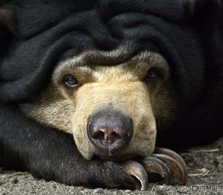 Oso malayo de Sun (Helarctos). El más pequeño de ocho especies de osos de estar en el mundo. Ha pequeña, orejas redondeadas, una frente carnosa que de vez en cuando se ve arrugada, y una lengua muy larga (más larga de todas las especies de osos). VULNERABLE
