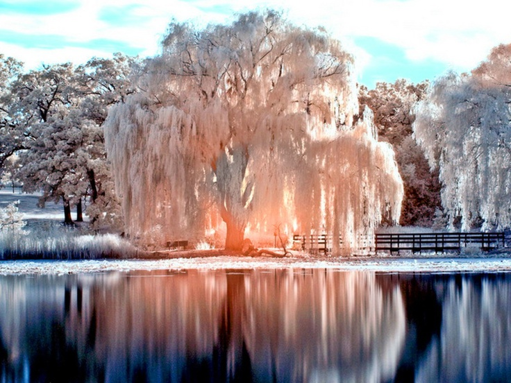 White tree, weeping willow in winter