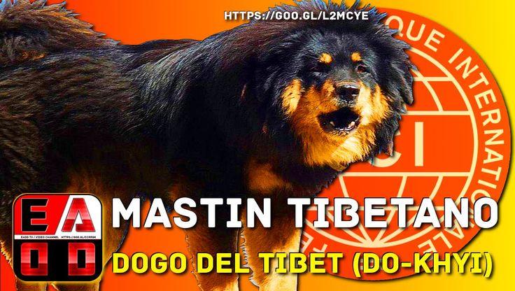 DOGO DEL TIBET (Do Khyi) o MASTÍN TIBETANO - Historia, característica, c...