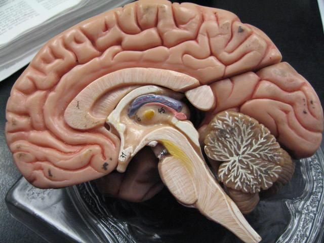 Brain  - The locus coerleus is small, but it's interconnected with a lot of the body's processes ... stress