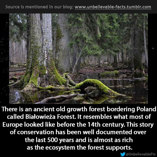 there is an ancient old growth forest bordering Poland called Białowieża Forest. It resembles what most of Europe looked like before the 14...