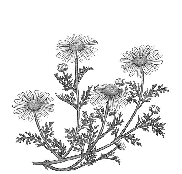 With its yellow centre and white petals, the camomile flower could easily be mistaken with the common daisy. However, it's unmistakable – perfumed and floral with a hint of lemon make the herb so interesting to use in desserts and food.