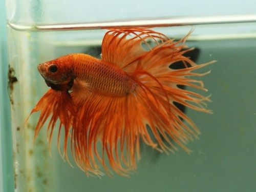 17 best images about betta crown tail on pinterest for Black betta fish for sale