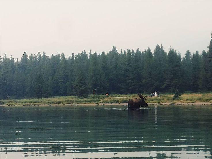large moose maligne lake jasper