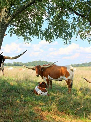 Longhorn Cow with baby Calf....someone needs to graze out there. {SF}