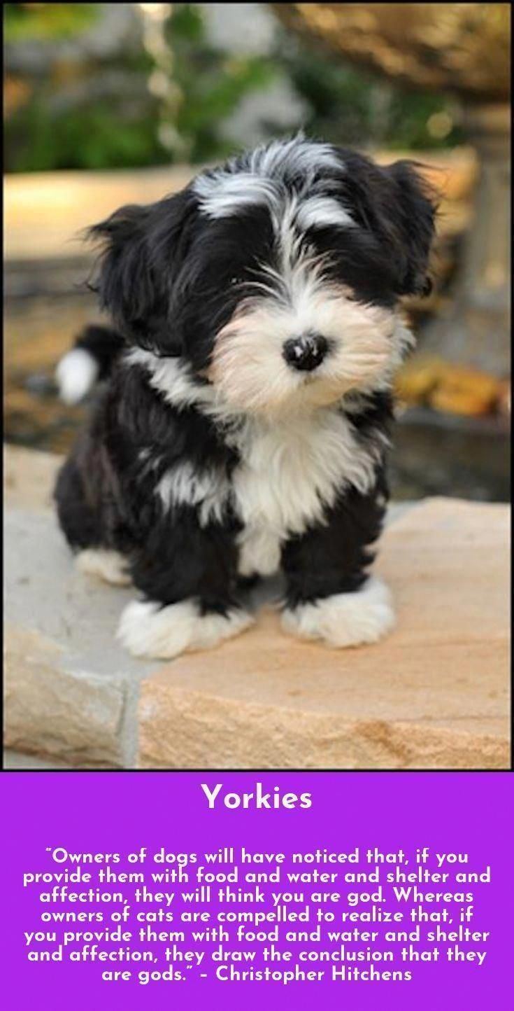 Explore Our Website For Even More Relevant Information On Yorkshire Terriers It In 2020 Yorkshire Terrier Puppies Yorkshire Terrier Yorkshire Terrier Puppy Yorkie