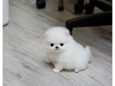 Yndudbd M/F Tea cup Pomeranian puppies for sale