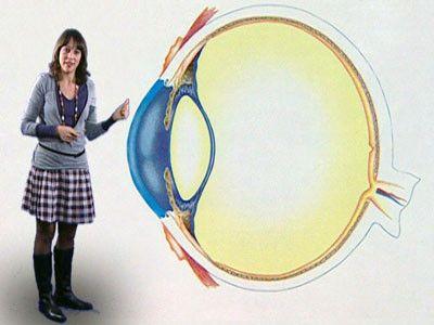 Een oog is een bol. Het gekleurde rondje is de iris. In het midden van de iris zit de pupil. Door de pupil komt licht naar binnen. Het licht gaat door de ooglens. De ooglens zorgt ervoor, dat het beeld op het netvlies terechtkomt. Zo zie je.
