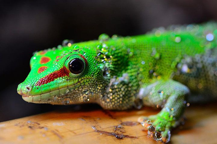 Geckos are small lizards found in warm climates throughout the world. There are over a thousand different species of gecko lizard