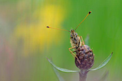 Hoe fotografeer je vlinders? Fotograaf fotografeerde de parelmoervlinder frontaal, en gebruikte bloemen op de achtergrond om kleur in het beeld te krijgen. (f/6,3, 1/125, ISO 200, 300 mm macro)