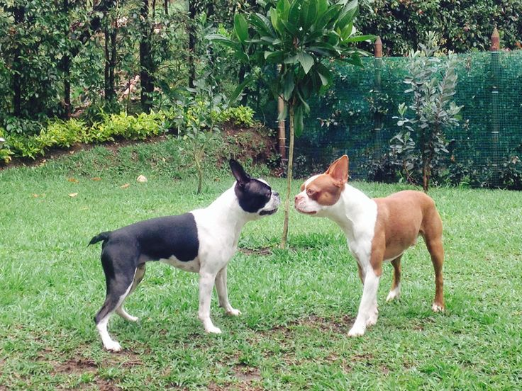 Endless Love of Boston Terriers - Ramona and Martin from Medellin, Colombia
