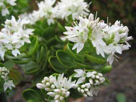 Hebe treadwellii   New Zealand Plant Conservation Network