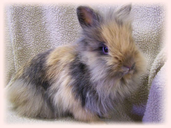 a baby lionhead bunny. oh my word.                                                                                                                                                                                 More