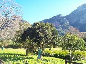 Young I. mitis trees in Kirstenbosch