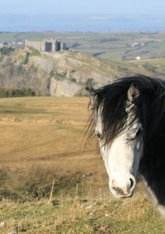 Carreg Cennen Castle | The castle was besieged and damaged by Owain Glyndwr in 1403. It was held by the Lancastrians during the Wars of the Roses but was destroyed in 1462 following the victory of the House of York the previous year.