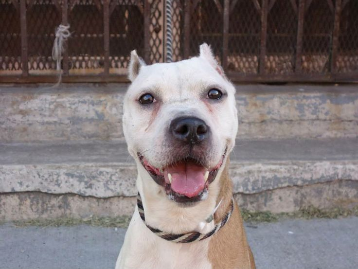 TO BE DESTROYED - 06/24/14 Brooklyn Center   My name is SKYLAR. My Animal ID # is A1003785. I am a female white and brown am pit bull ter mix. The shelter thinks I am about 7 YEARS old.  I came in the shelter as a STRAY on 06/19/2014 from NY 11226, owner surrender reason stated was STRAY. I came in with Group/Litter #K14-182522.