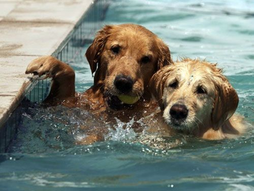 .: Pools Time, Golden Rules, Dogs, Golden Retrievers, Happy Puppys, Pools Party, Kiddie Pools, Swimming Team, Furry Friends