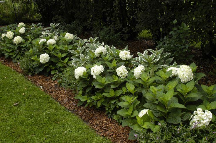 Blushing Bride Hydrangeas sit beside variegated Hostas in this lovely shady garden path. White Hydrangeas in a Hedge Border Garden.