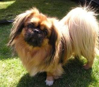 Resultado de imágenes de Google para http://www.comportamientoanimal.com/imagenes/razas_perro/razas_comp_pequines_2.jpg