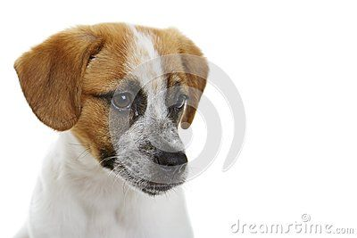 Portrait of curious terrier dog puppy over white background.