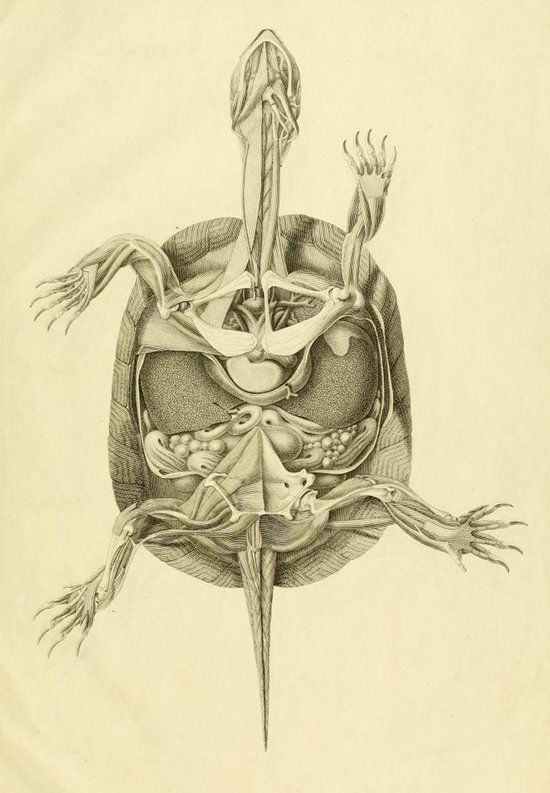 Turtle Anatomy images from 1820 by German physician and naturalist, Ludwig Heinrich Bojanus (1776–1827)
