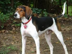 treeing walker couonhound photo | Treeing Walker Coonhound Information, Pictures of Treeing Walker ...