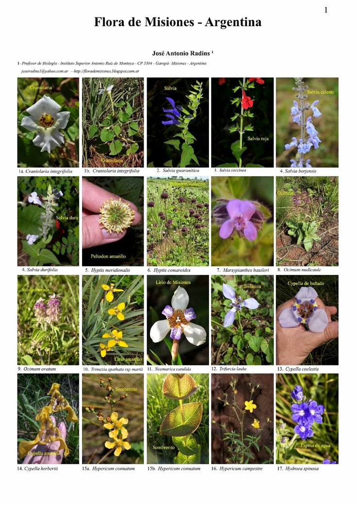 Flora de misiones argentina fichas de la flora de for Plantas ornamentales del ecuador
