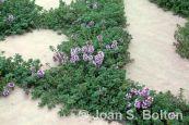Photo credit: Joan S. BoltonCreeping thyme(Thymus serpyllum)