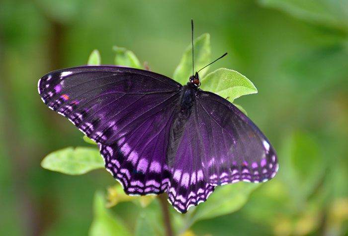 Red Purple Butterfly Symbol – Dibujos Para Colorear