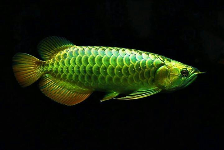 153 best arowanas images on pinterest betta exotic fish for Freshwater dragon fish