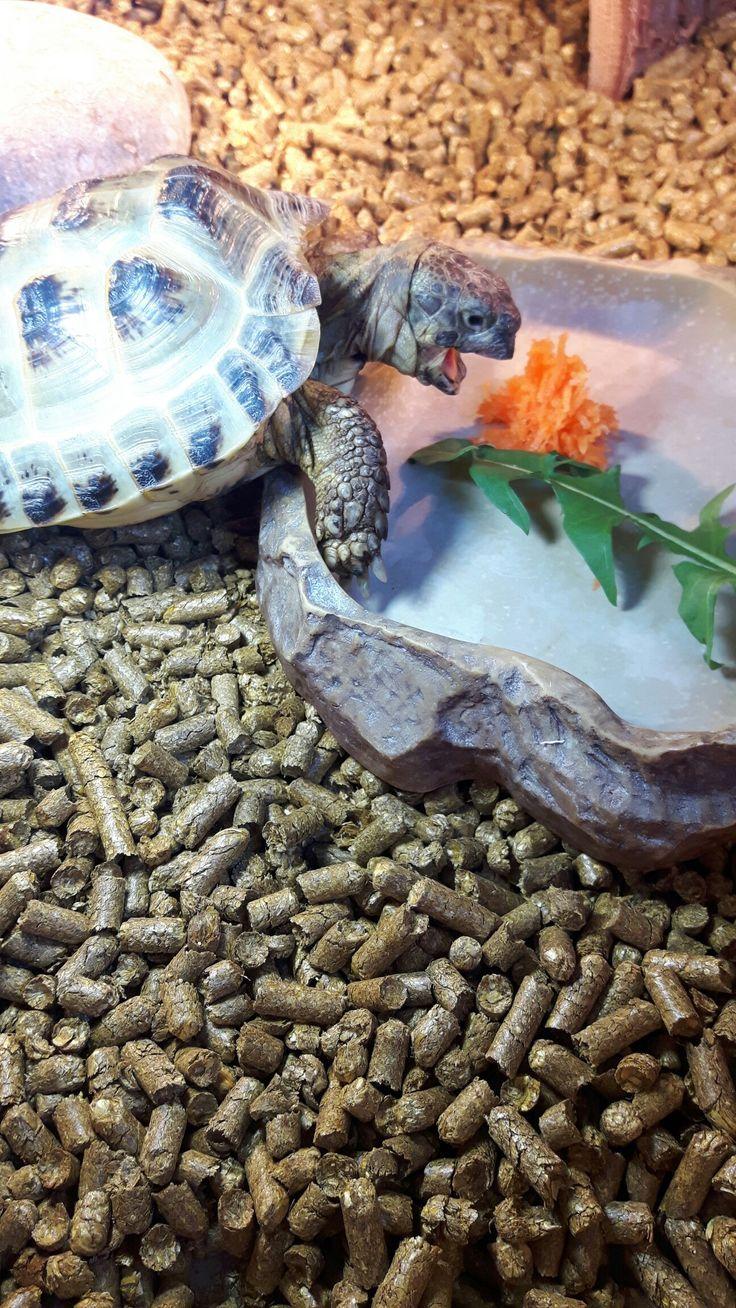Horsefield tortoise excited for his shredded carrots