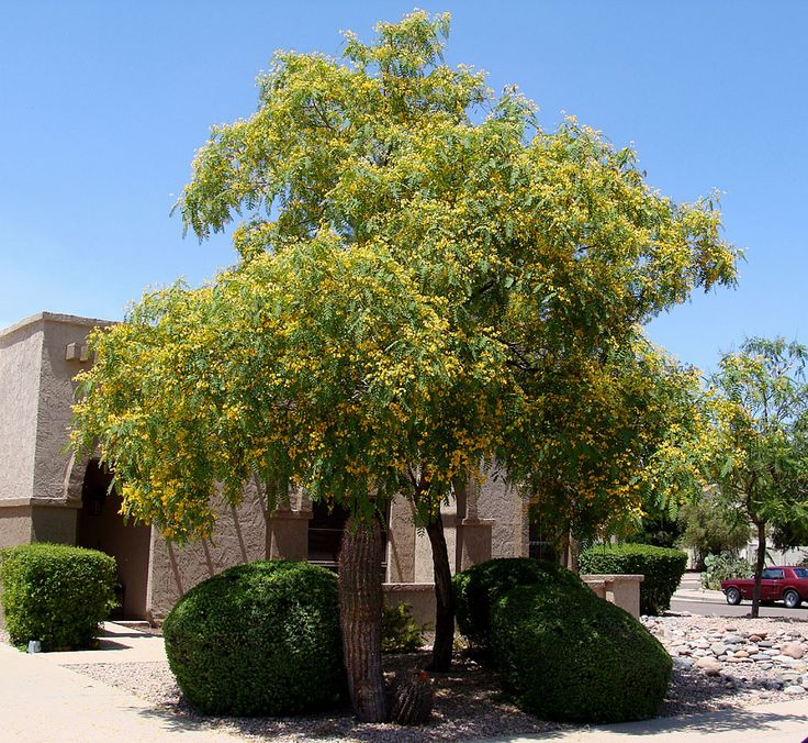 1000 images about tipuana tipu on pinterest trees for Fast growing drought tolerant trees