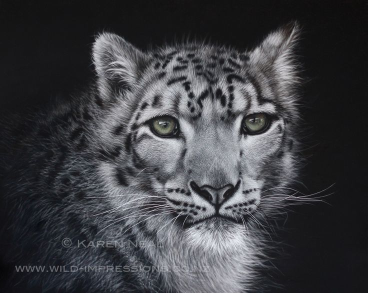 """Queen of the Snow Mountains"" Snow Leopard Scratchboard, 16x20in www.wild-impressions.co.nz"