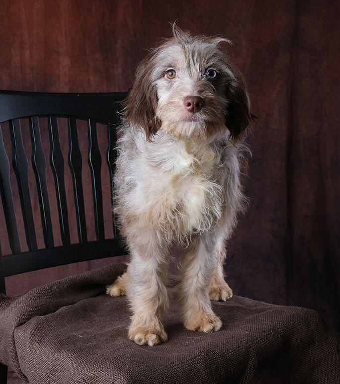 Comfort Retriever And Comfort Goldendoodle Litters Comfort