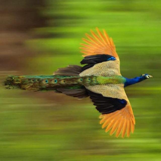Male peacock in flight.
