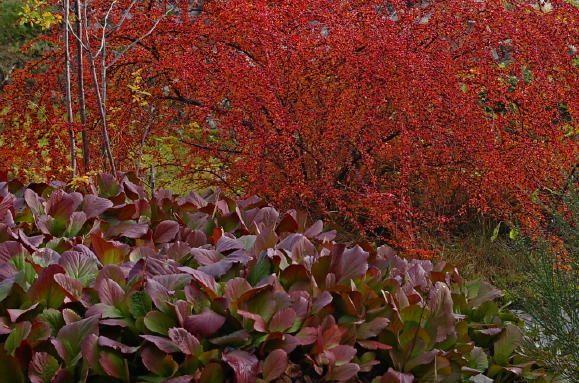 At Bergenia cordifolia er en tøff plante er det ingen tvil om. Den er grønn og fin der lite annet kan vokse, f.eks. i fjellsprekker og knauser. Men om våren minner den mest om noen triste og visne kålblekker. Noe annet om høsten. Da har den en ny oppsetning av blader og forsyne meg blir de ikke høstrøde, også. Bladene holder seg grønne inne ved stilken, slik at vi kan beundre fargekontrasten, dessuten. At Blankmispelen i bakgrunnen også går bananas om høsten er heller intet minus for hagen…