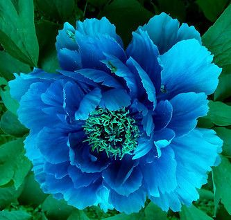 Blue Eyes Peony   I cant imagine this is real but i want it!