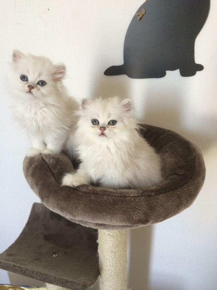 Chatterie de la fontaine damour Elevage du chat persan