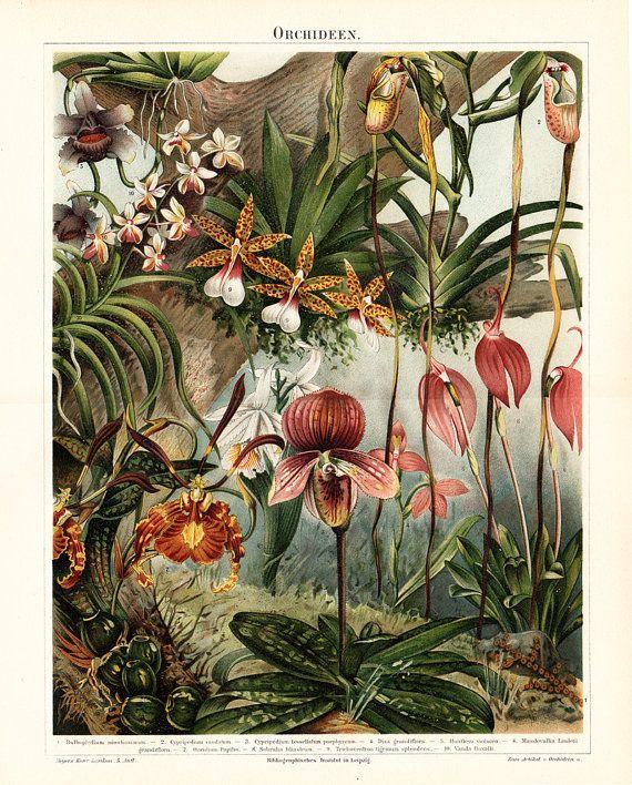 1897 Gorgeous antique ORCHID lithograph by TwoCatsAntiquePrints
