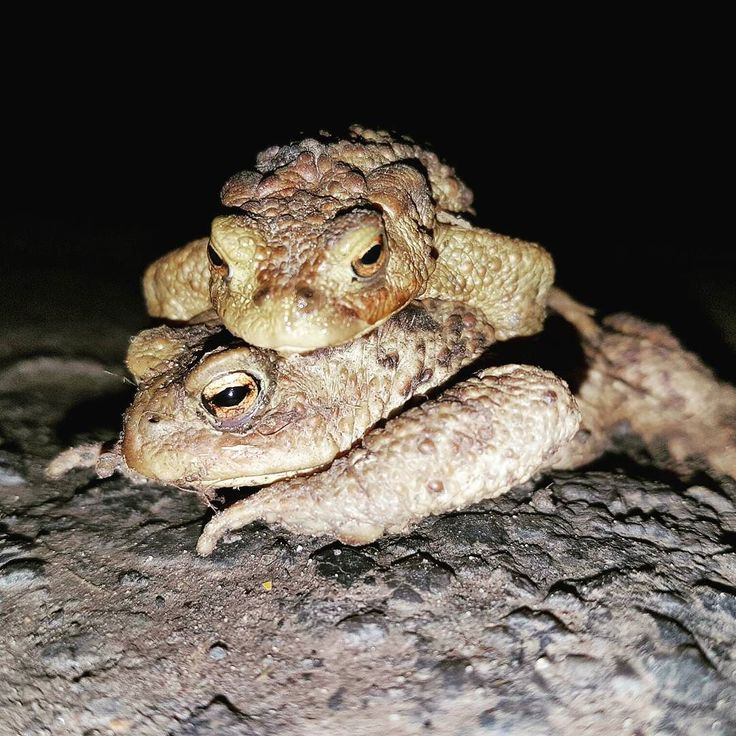 Love at first sight. Sweet little couple hugging in my street  Coup de foudre. Un petit couple en plein ébat dans ma rue  #benheinephotography #frog #toad #crapeau #grenouille #love #hug #cuddle #calin