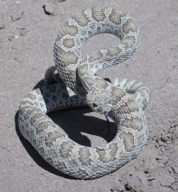 29 best Snakes: Cottonmouth images on Pinterest | Snakes, Snake and Florida