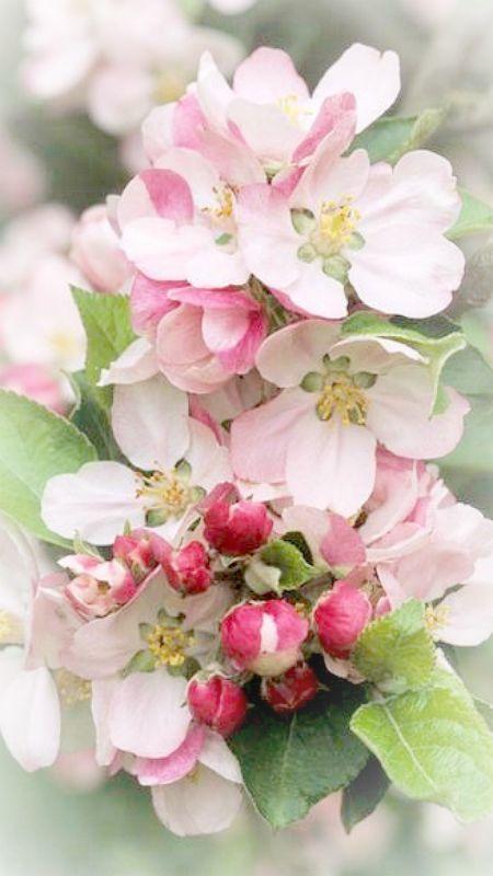 Apple blossoms ~Debbie Orcutt ❤