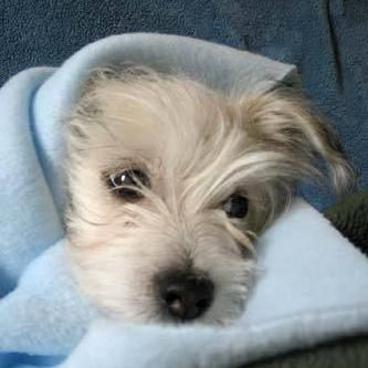 cairn terrier and maltese mix puppies - Google Search