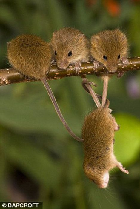 The secret life of the harvest mouse: cute pictures by Jean-Louis Klein and…                                                                                                                                                                                 More