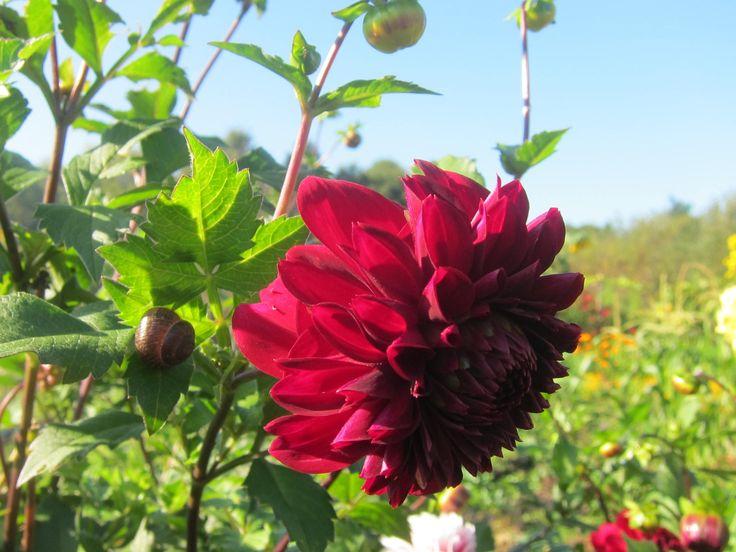 Вторая часть истории о выращивании георгин или далий. Рассказываю о выкопке и хранении. Читайте больше в блоге http://www.aleninsad.com/2015/11/georgini-moy-...