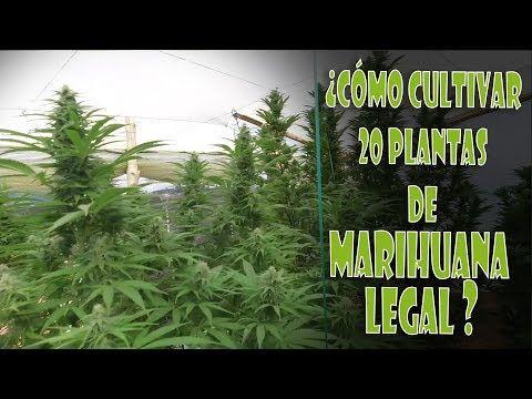 Cómo cultivar 20 plantas de marihuana legal en Colombia con abono de cannabis orgánico. Top Cultivo
