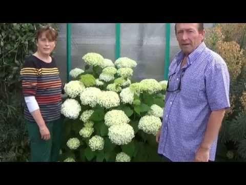 Jardinage: bouture d'hortensia de virginie variété annabelle - YouTube