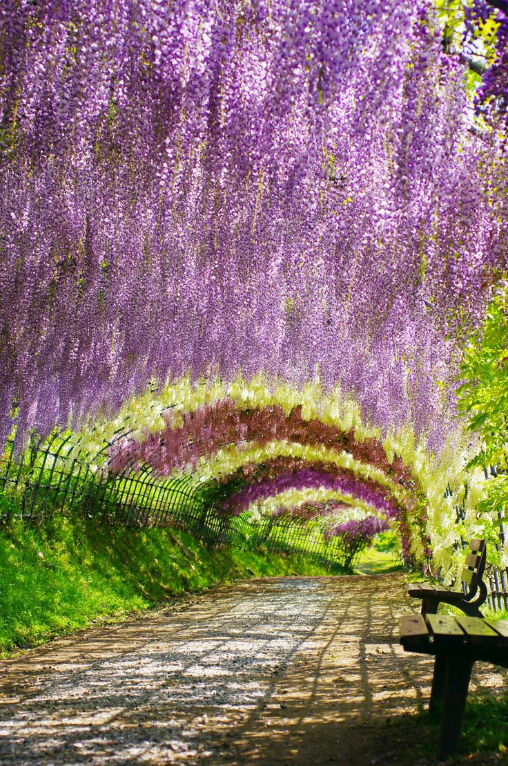 27 best images about awesome places to visit on pinterest Wisteria flower tunnel path in japan